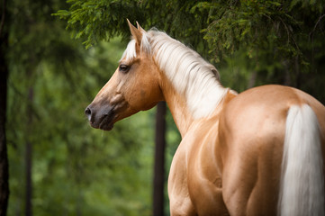 Palomino horse with a white mane, portrait in the forest
