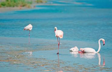 pink flamingos in Sardinia