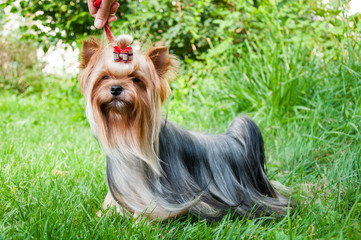 Young yorkshire terrier on the grass