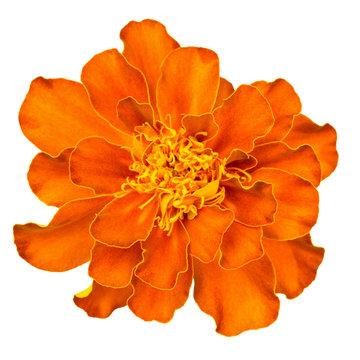Orange french marigold isolated on white