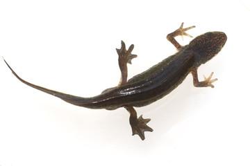 Bergmolch; Ichthyosaura; alpestris