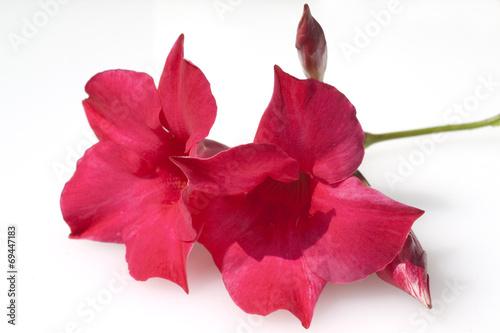 dipladenia sanderi sundaville dark red stockfotos und lizenzfreie bilder auf. Black Bedroom Furniture Sets. Home Design Ideas