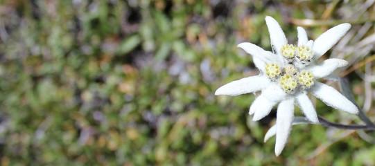 Edelweiss mit Freifläche
