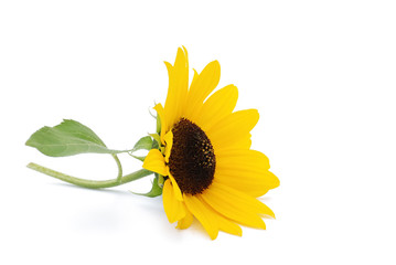 Fotobehang Zonnebloem Sonnenblume