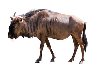 Photo sur Plexiglas Antilope Blue wildebeest
