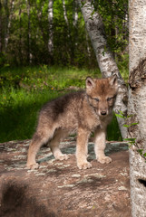 Grey Wolf (Canis lupus) Pup on Rock