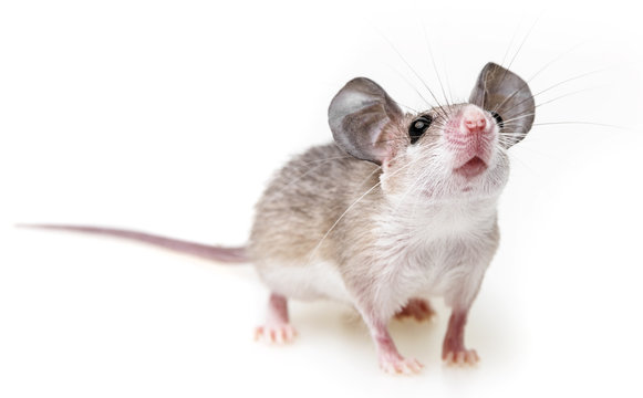 a little mouse on a white background (acomys cahirinus)