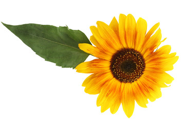 Sunflower with a leaf on a white background closeup