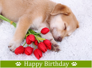 Birthday postcard.Cute Golden Retriever puppy