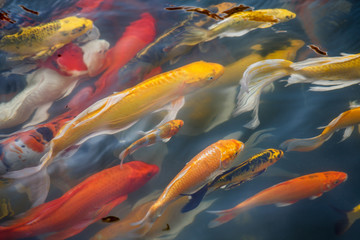 Japanese koi fish