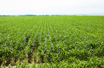 mass of corn leaves on field