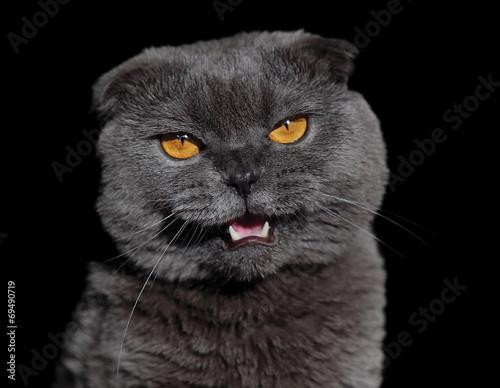 Почему злой британский кот