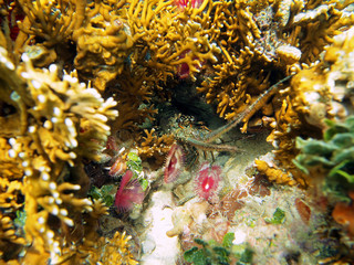 Spiny lobster under water in a hole surrounded by corals