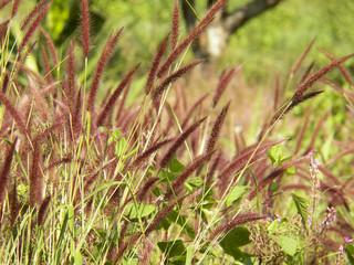 Flower grass background ,Pennisetum pedicellatum Trin