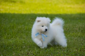 Samoyed Puppy