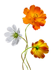 Cosmos flowers isolated on white background