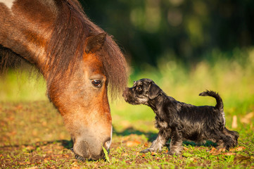 Miniature schnauzer puppy with little shetland pony