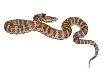 Snake (Agkistrodon saxatilis) 11
