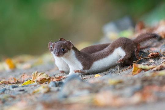 Two least weasels