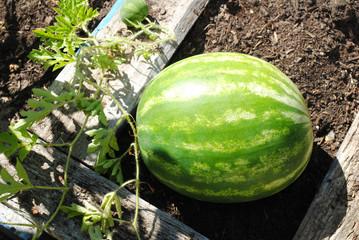 Growing Watermelon in the Back Yard Garden
