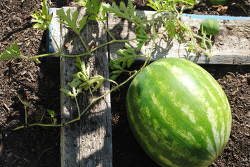 Summer Watermelons Growing in a Garden