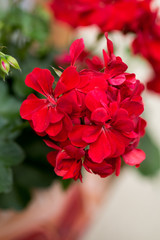 Red garden geranium flowers