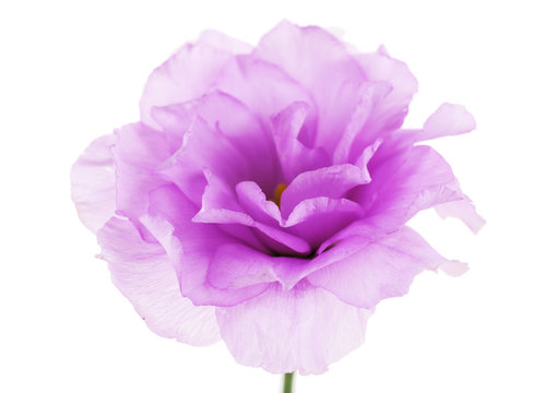 Purple artificial eustoma, isolated on white