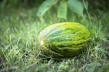 green melon on grass in garden
