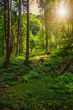 forest glade in  shade of the trees at sunset