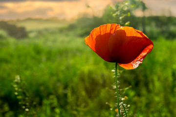 red poppy on a blurred background  at sunset