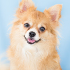 Isolated Closeup Brown chihuahua