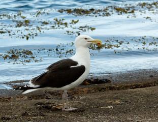 Black-backed Gull