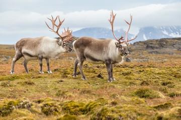 Photo Blinds Pole Wild Arctic reindeer - Spitsbergen, Svalbard