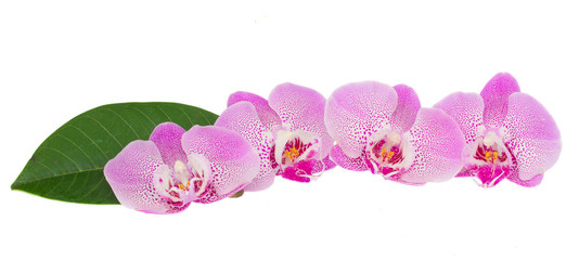 row of pink  orchid flowers