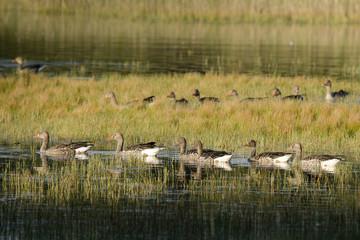 Eine Gruppe Graugänse (Anser anser)