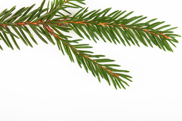 green fir twig isolated on white background