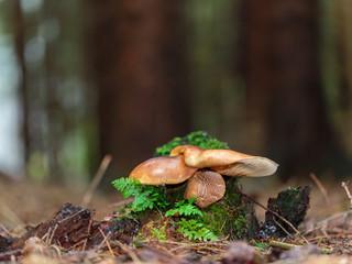 Lovely Mushroom Kingdom