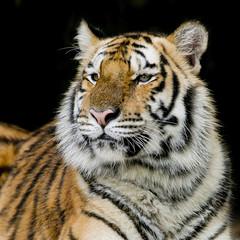 Wall Mural - Bengal tiger