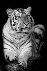 Fototapete - Bengal tiger