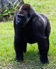 Western Lowlands Gorilla - Gorilla gorilla gorilla