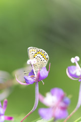 The Silver-studded blue, plebejus argus feeding on Willowherb