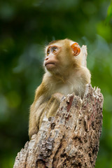 Young Northern Pig-tailed Macaque(Macaca leonina)