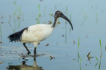 Sacred ibis, African sacred ibis(Threskiornis aethiopicus)