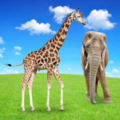 giraffe with elephant