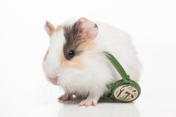 white hamster isolated on white background.