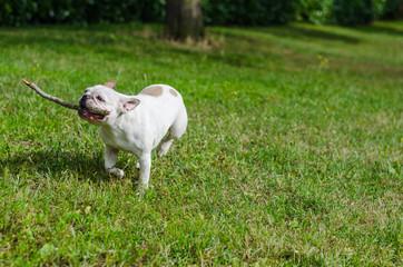 chien, bulldog français joue avec un bâton, court