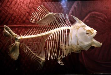 Piranha Fish Skeleton