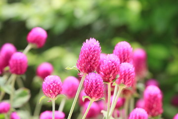 Globeamaranth flowers