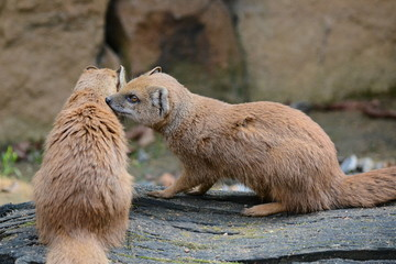 Mongoose.