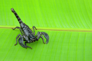 Scorpion on a leaf